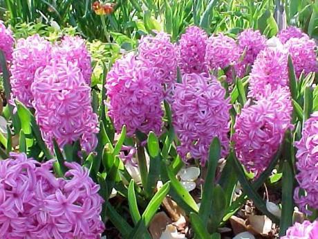 Zahradnictv echlovsk fotoalbum jarn kv tiny hyacint - Plantas de temporada primavera ...